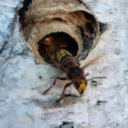 wespen-plaag-nest